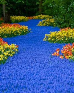 A River of Blue flowers