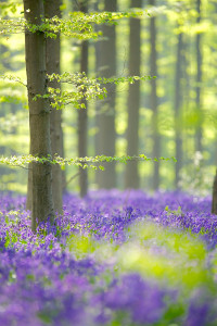 Forest of thin trees & purple f;pwers